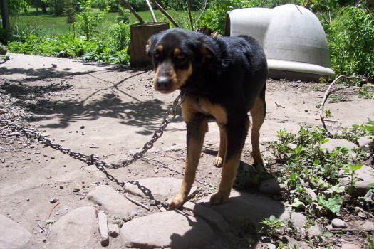 Dog Chained In Yard