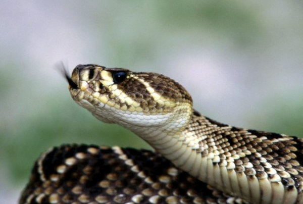 Learn How To Charm And Behead The Venom Filled Snake That Intends To Bite You!