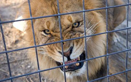 Angry Caged Lion